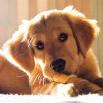 Alergiile alimentare și lipsa unor vitamine esențiale provoacă năpârlirea abundentă a câinilor